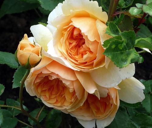 Краснодарский край питомник розы
