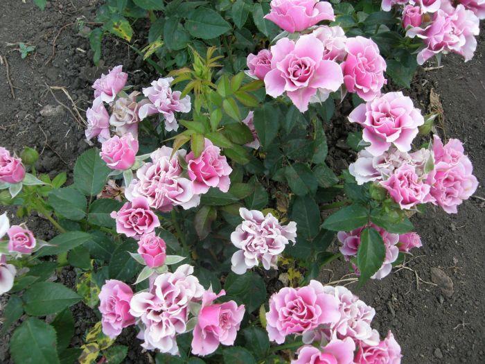 Розы купить саженцы краснодар питомник купить на украине свадебные искусственные цветы