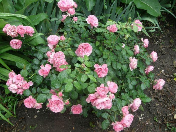 Купить саженцы розы в краснодарском крае замечательные букеты с доставкой москва